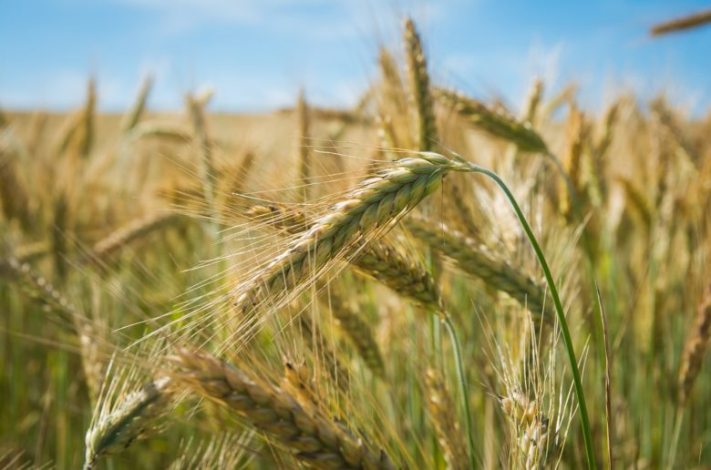 Wheat fields (